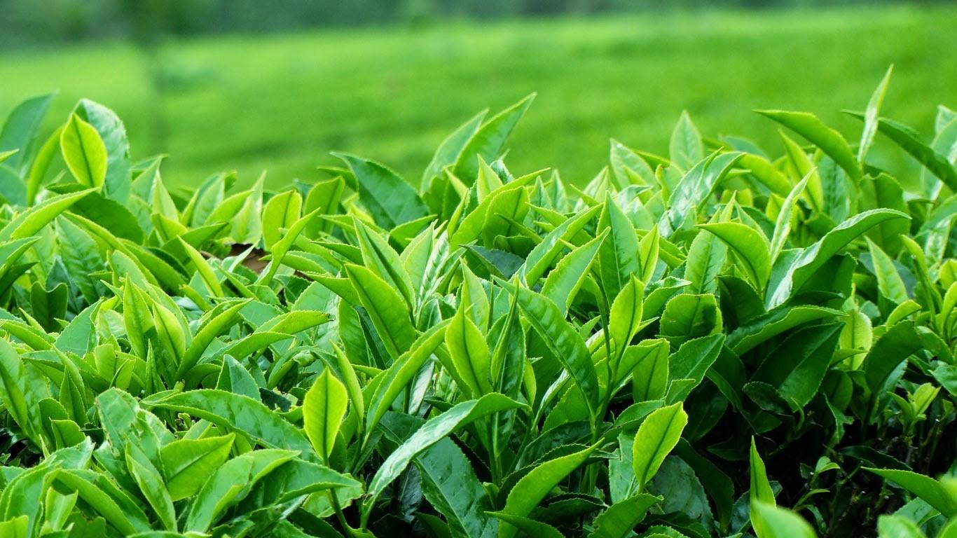 Sức mạnh chống oxy hóa của trà xanh